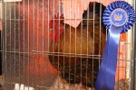 2012 North Somerset Show Poultry